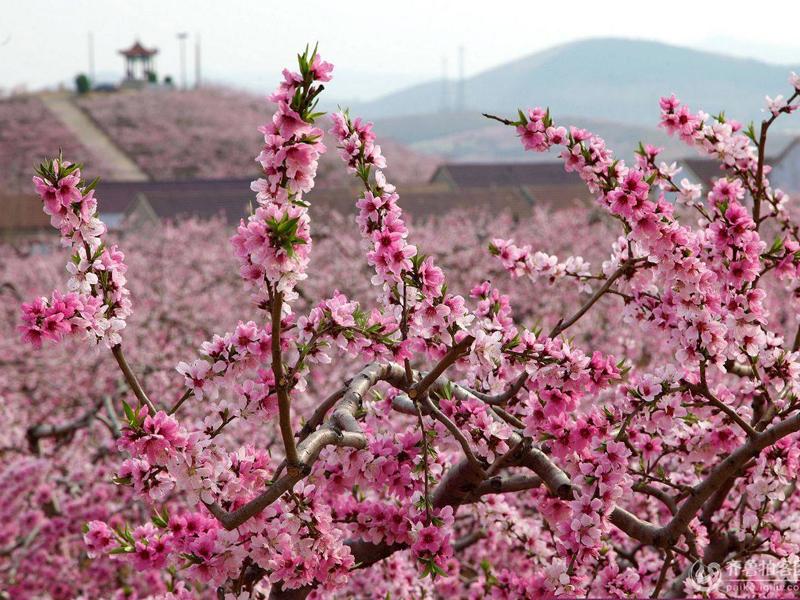 開在水云間,麗江拉市近萬畝桃花盛放