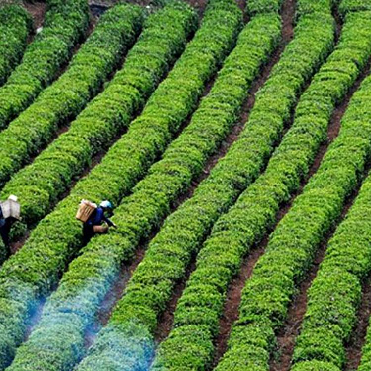 求购茶叶种子