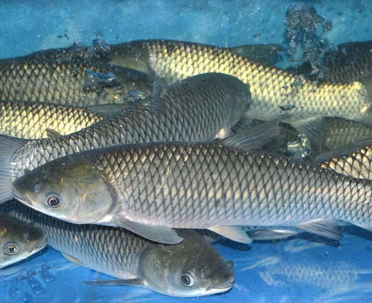 池塘主养青鱼技术要点