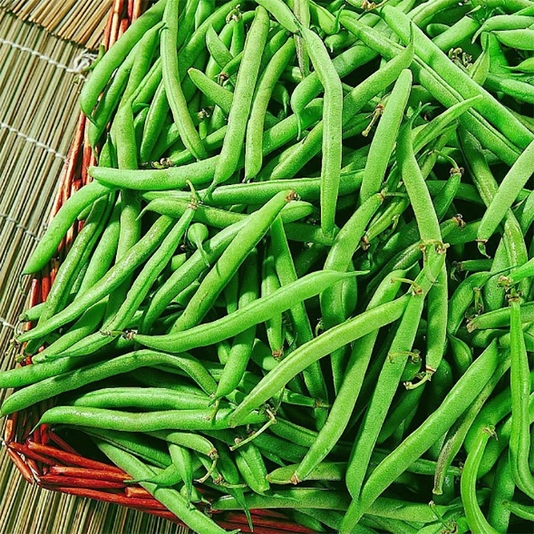 四季豆 蔬菜菜园阳台盆栽全能地豆王