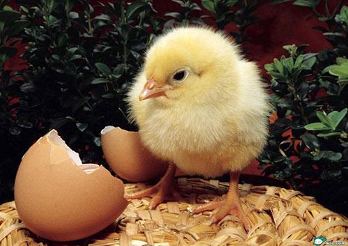如何挑选鸡苗