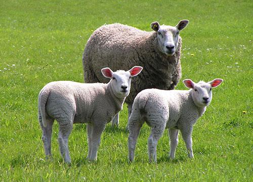基础母羊配种前期的饲养管理技术
