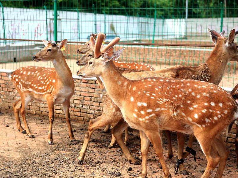 养鹿过程中常见的疾病以及防治措施