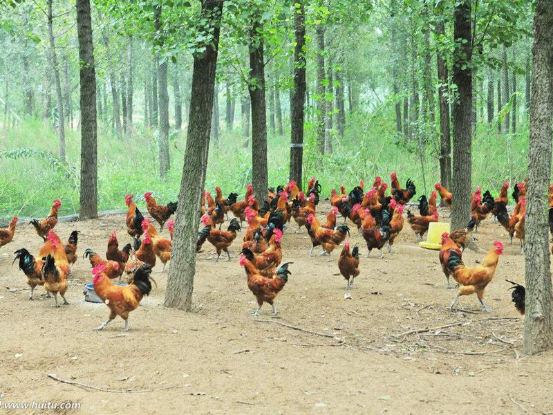 目前养鸡有哪几种模式?新手养鸡注意事项