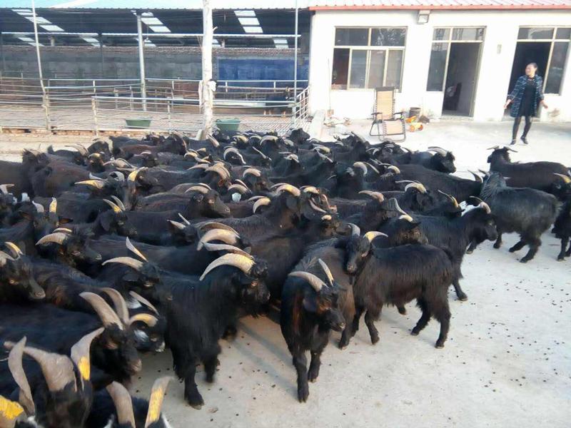 黑山羊养殖技巧:如何减少黑山羊的生病率?