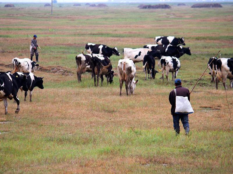 冬季如何提高奶牛的产奶量?这几项措施你做到了吗