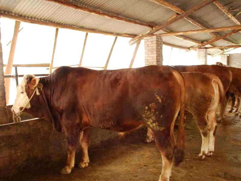 农村养殖肉牛四大重点注意事项