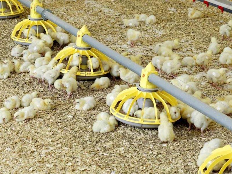 雏鸡养殖生长过程中,都需要做好哪些管理技术准备?