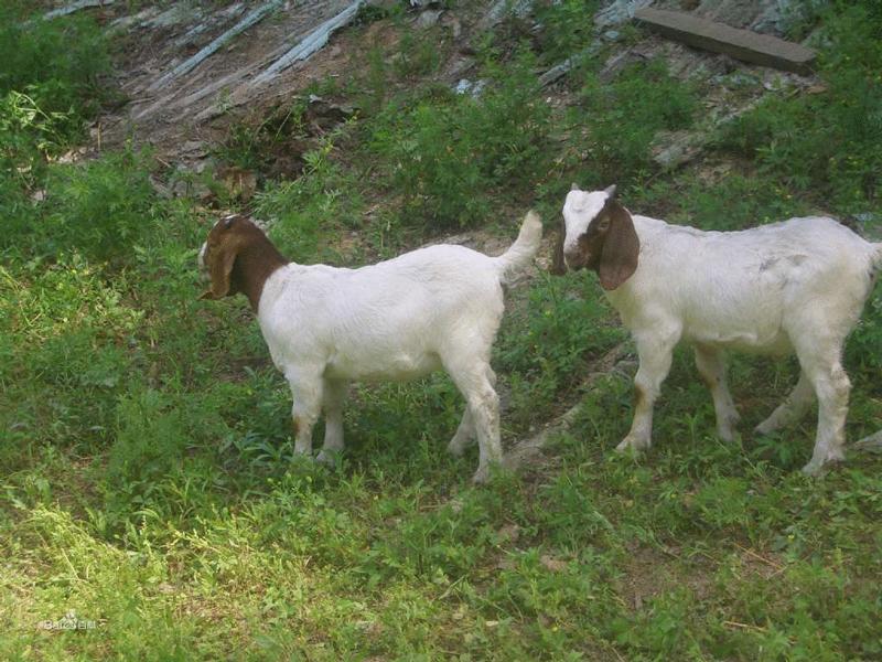 山羊冬季养殖注意事项:这几点一定要做好