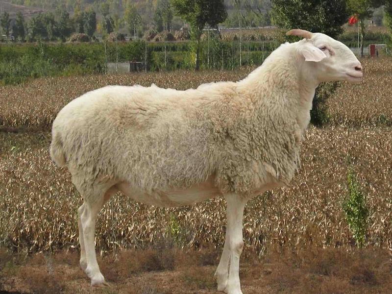 如何加快小尾寒羊的生长速度 提高养殖收益