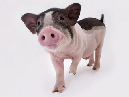 宣威创新模式养猪致富