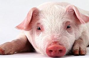 大量家庭养殖猪 质量优异