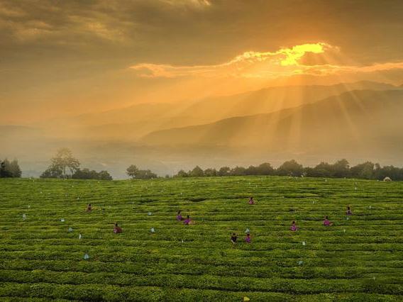 云南梁河回龍山上新茶綠 茶農喜迎豐收年