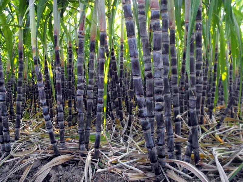 德宏州農業農村局對瑞麗市甘蔗種植情況進行督查指導