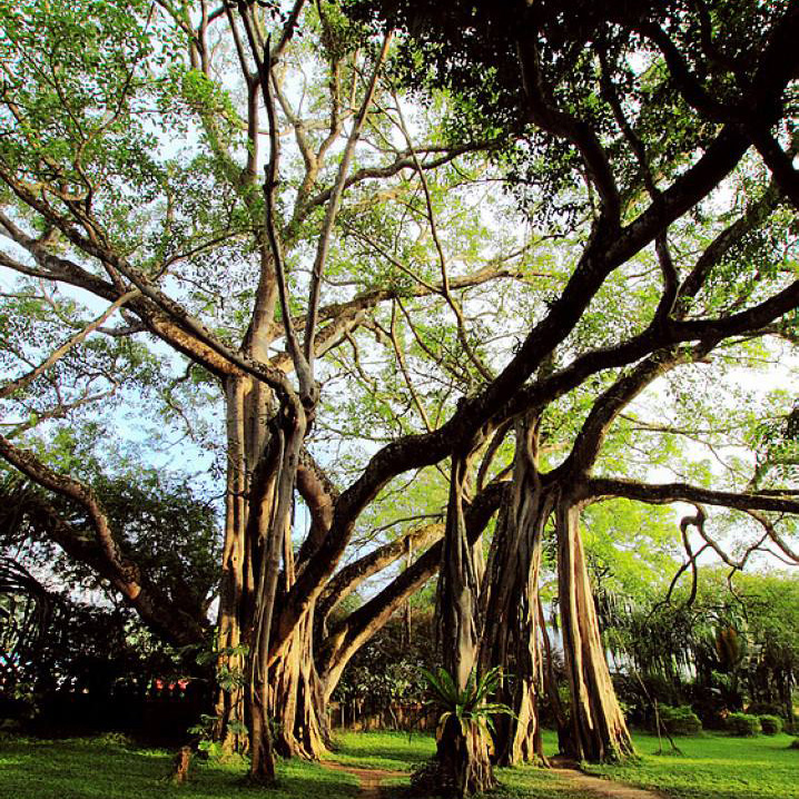 云南瑞麗芒令獨樹成林+莫里熱帶雨林景區+瑞麗江+一寨兩國+姐告口岸一日游