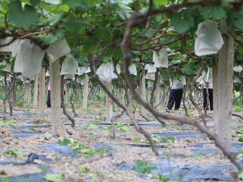 文山马关:苦楝子树下的甜蜜生活