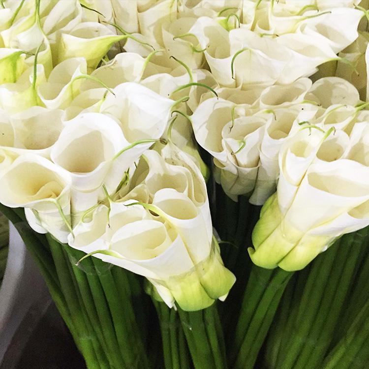 马蹄莲鲜花