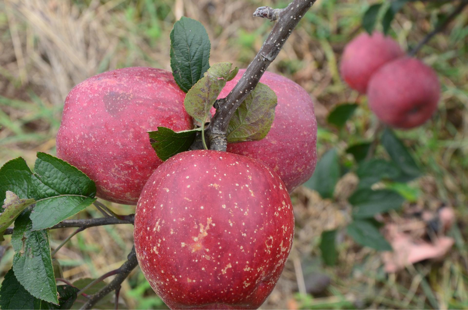 云南昭通丑苹果,爽脆冰糖心,自然生长,连皮也能吃,你吃过吗?
