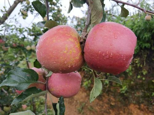 昭通农民都爱种植这种苹果,外形丑陋,口感却很独特