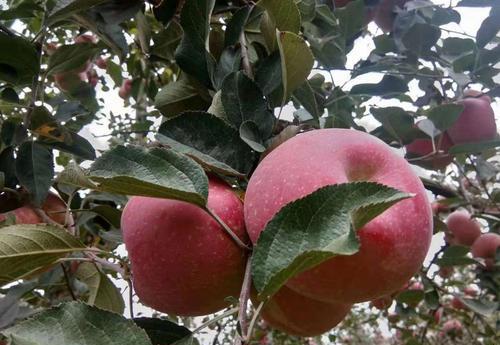 """昭通工商规范""""昭通苹果""""宣传环境助力打造苹果产业发展"""
