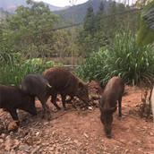临沧生态野猪